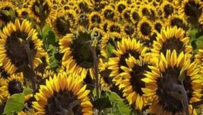 Good Morning Quote with sunflower