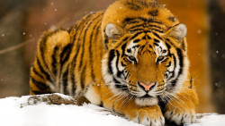 Tiger Animal Wallpaper 7
