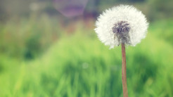 countryside dandelion-1920x1080