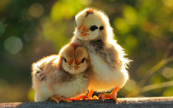 cute-chickenes-jpg