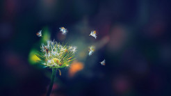 dandelion flies-1920x1080