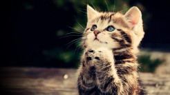 funny cat full hd wallpaper praying kitten cute animal picture