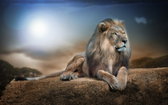 Lion Animal Wallpaper 10