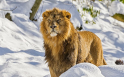 Lion Animal Wallpaper 11