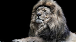 Lion Animal Wallpaper 12