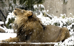 Lion Animal Wallpaper 14