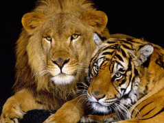 Lion Animal Wallpaper 16