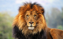 Lion Animal Wallpaper 20
