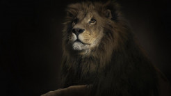 Lion Animal Wallpaper 26
