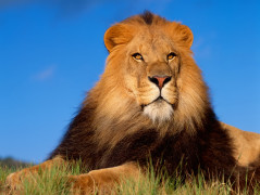 Lion Animal Wallpaper 27