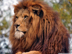Lion Animal Wallpaper 32