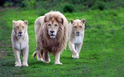 Lion Animal Wallpaper 6