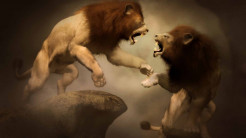 Lion Animal Wallpaper 7