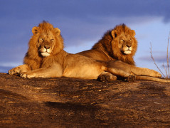 Lion Animal Wallpaper 8