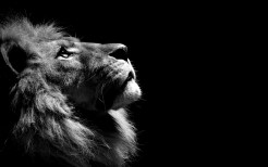 Lion Animal Wallpaper 9