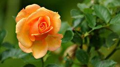 Peach rose 1080p flowers hd wallpaper