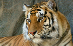 Tiger Animal Wallpaper 15
