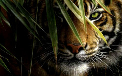 Tiger Animal Wallpaper 16