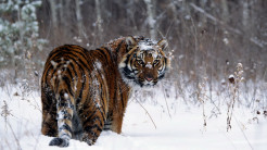 Tiger Animal Wallpaper 18