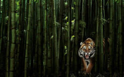 Tiger Animal Wallpaper 19
