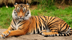 Tiger Animal Wallpaper 21