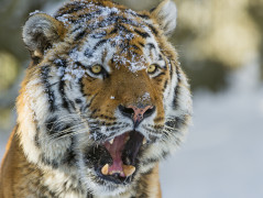 Tiger Animal Wallpaper 22