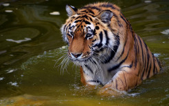 Tiger Animal Wallpaper 25