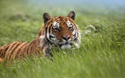 Tiger Animal Wallpaper 26