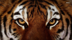 Tiger Animal Wallpaper 28