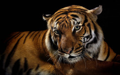 Tiger Animal Wallpaper 29
