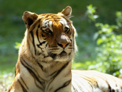 Tiger Animal Wallpaper 30