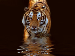 Tiger Animal Wallpaper 8