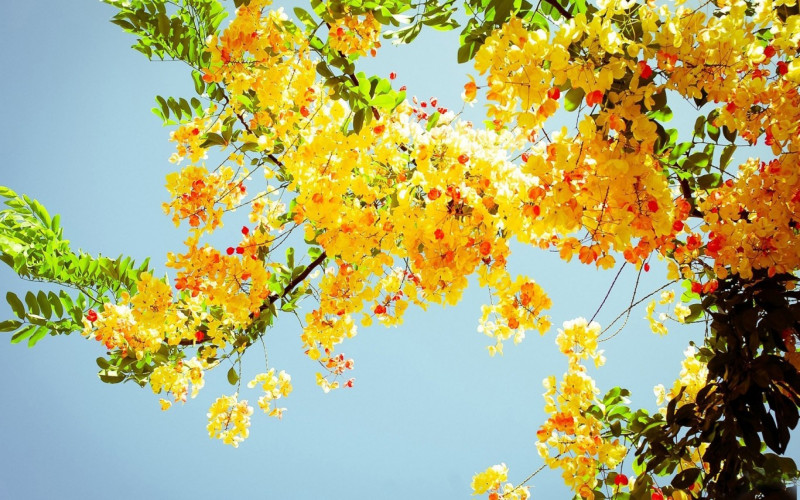 Beautiful yellow flowers tree 1366 768