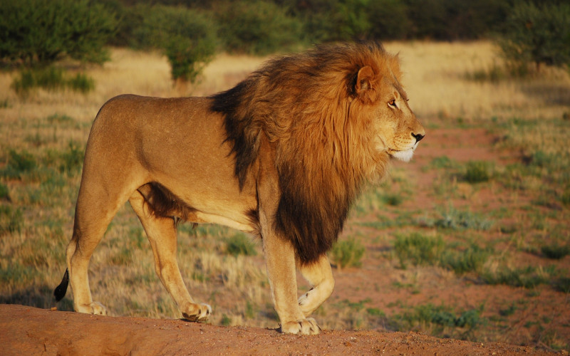 Lion Animal Wallpaper 30